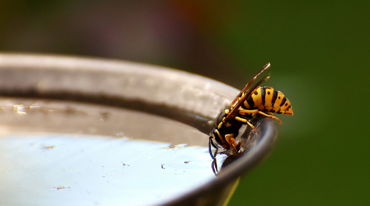 what do wasps eat. and here is one drinking water