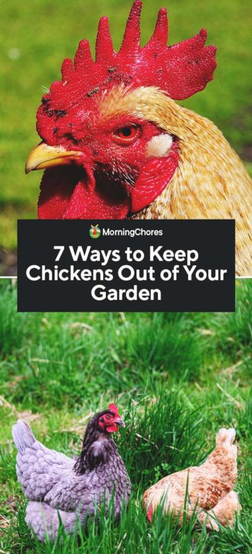 This image has an empty alt attribute; its file name is 7-Ways-to-Keep-Chickens-Out-of-Your-Garden-PIN-364x800.jpg