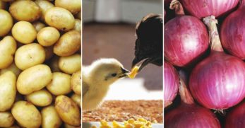11 Best Meat Chickens to Breed and Raise in Your Backyard