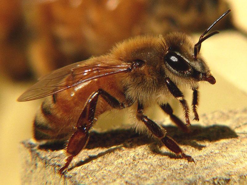 common honeybees - the italian