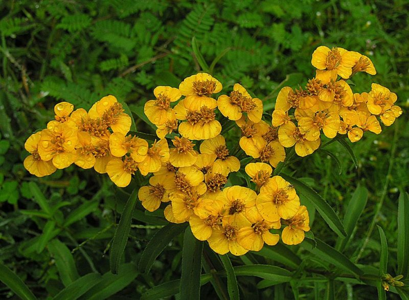 By Dick Culbert from Gibsons, B.C., Canada - Tagetes lucida, the Sweetscented Marigold, CC BY 2.0, https://commons.wikimedia.org/w/index.php?curid=34450923
