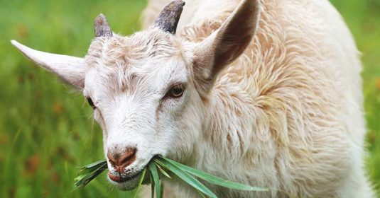 Angora Goat: Breed Info, Characteristics, Breeding, and Care