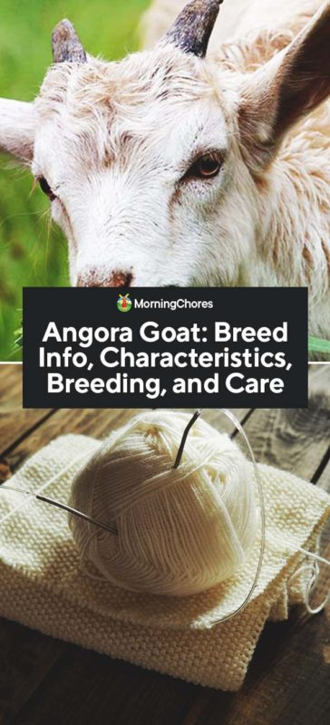 This image has an empty alt attribute; its file name is Angora-Goat-Breed-Info-Characteristics-Breeding-and-Care-PIN-364x800.jpg
