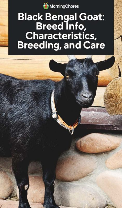 This image has an empty alt attribute; its file name is Black-Bengal-Goat-Breed-Info-Characteristics-Breeding-and-Care-PIN-1-470x800.jpg