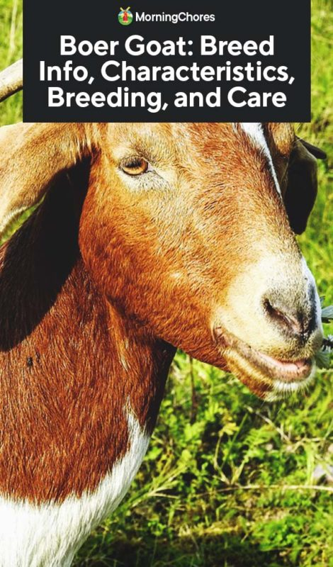 This image has an empty alt attribute; its file name is Boer-Goat-Breed-Info-Characteristics-Breeding-and-Care-PIN-470x800.jpg