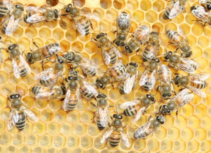 common  honeybees - The buckfast