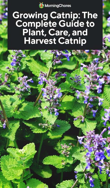This image has an empty alt attribute; its file name is Growing-Catnip-The-Complete-Guide-to-Plant-Care-and-Harvest-Catnip-PIN-470x800.jpg