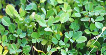 Growing Fenugreek: Plant Varieties, How-to Guide, Problems, and Harvesting