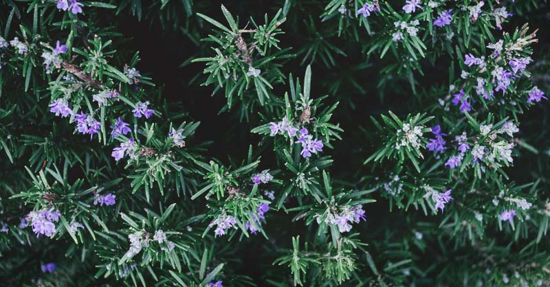 Growing Rosemary The Complete Guide To Plant Grow Harvest