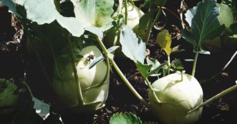Growing Rutabagas:  Plant Varieties, How-to Guide, Problems, and Harvesting