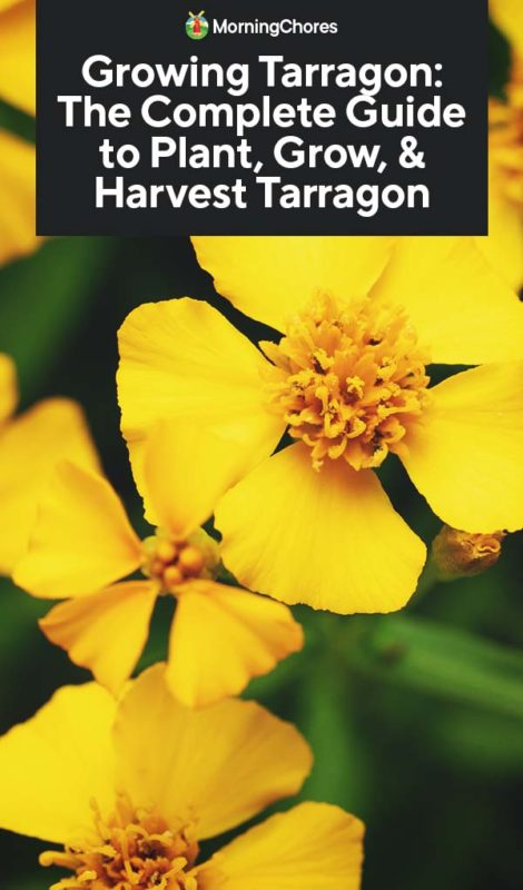 This image has an empty alt attribute; its file name is Growing-Tarragon-The-Complete-Guide-to-Plant-Grow-Harvest-Tarragon-PIN-470x800.jpg