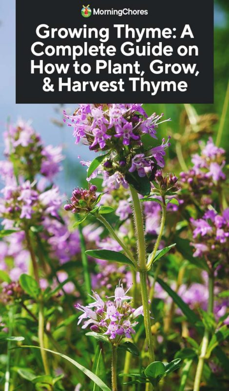 This image has an empty alt attribute; its file name is Growing-Thyme-A-Complete-Guide-on-How-to-Plant-Grow-Harvest-Thyme-PIN-470x800.jpg