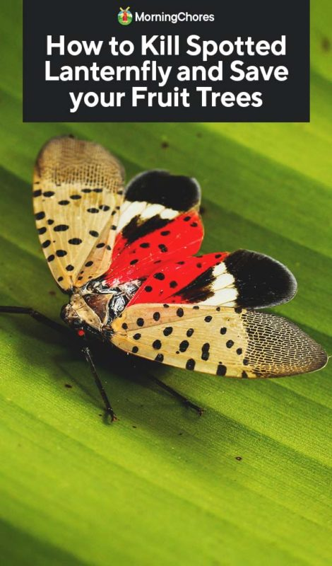 This image has an empty alt attribute; its file name is How-to-Kill-Spotted-Lanternfly-and-Save-your-Fruit-Trees-PIN-470x800.jpg