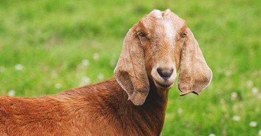 Nubian Goat: Breed Info, Characteristics, Breeding, and Care
