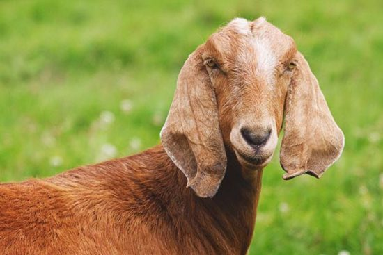 Nubian Goat: Breed Info, Characteristics, Breeding, and Care