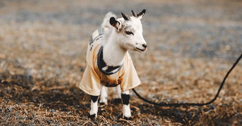 The Life Cycle Of Goat Internal Parasites And How to Prevent Them