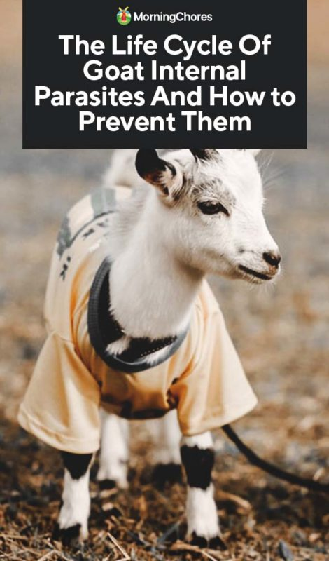 This image has an empty alt attribute; its file name is The-Life-Cycle-Of-Goat-Internal-Parasites-And-How-to-Prevent-Them-PIN-470x800.jpg
