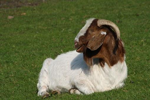 old boer goats
