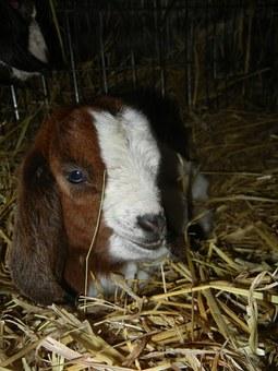 boer goats kid
