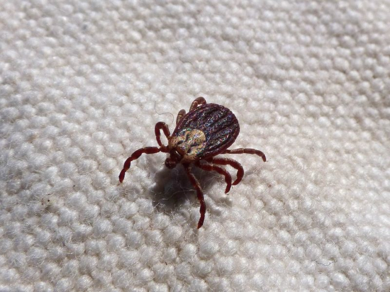 ticks - goat external parasites