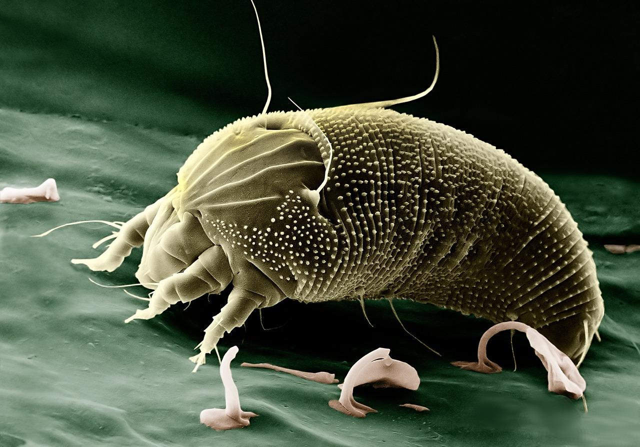 Mite Goat External Parasites