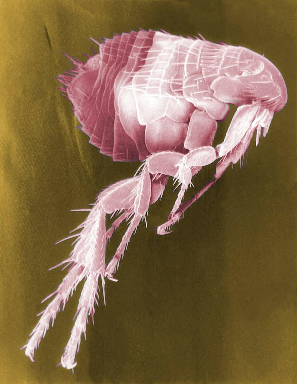 Flea Goat External Parasites