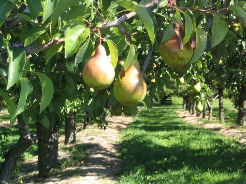 Enjoy fresh fruit when you plant an orchard