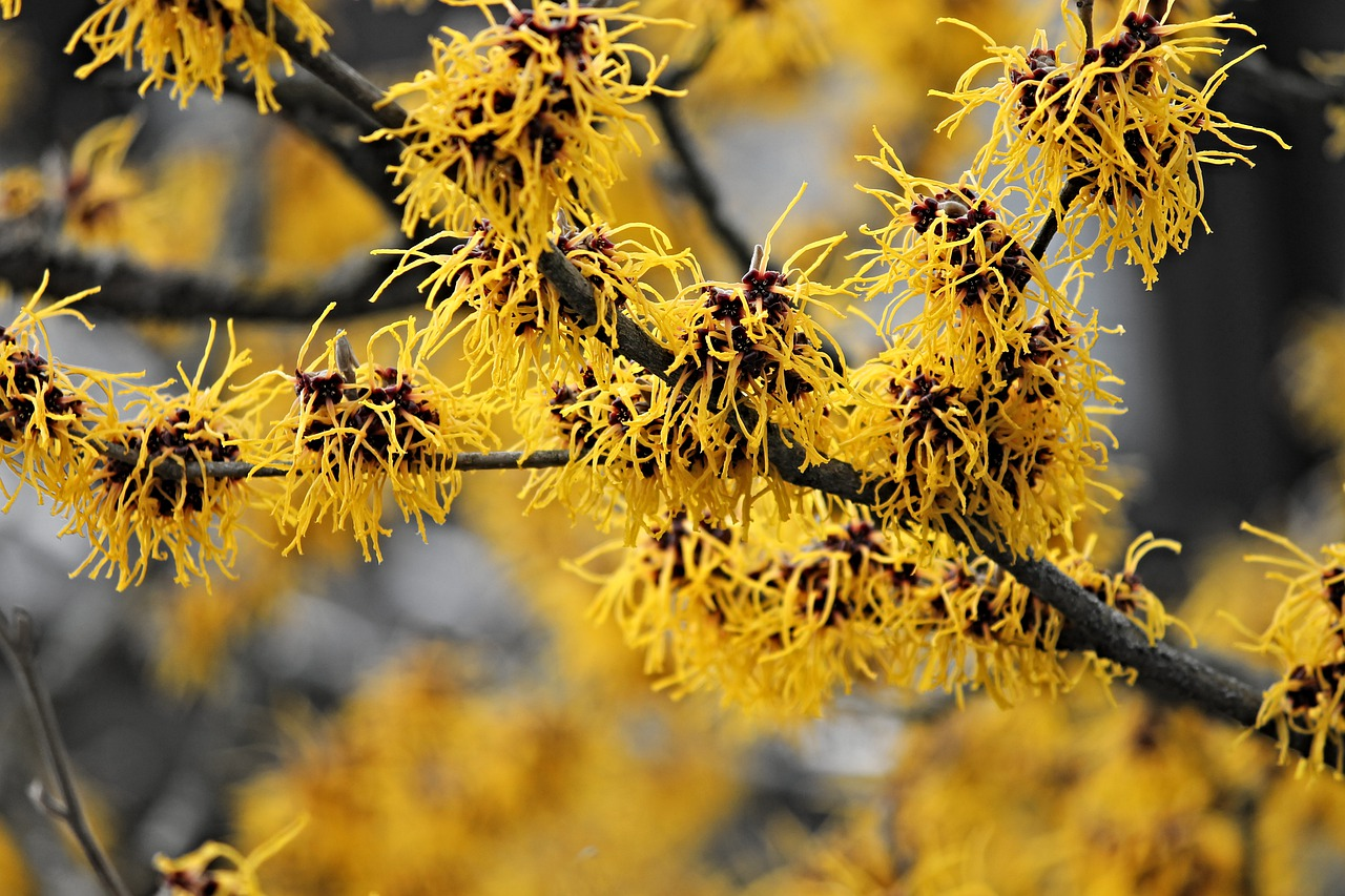 Witch Hazel Natural Bee Sting Remedies