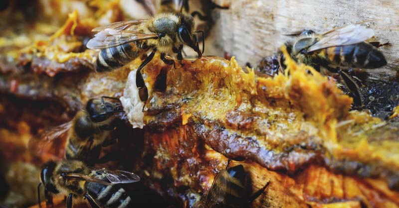 Bee Propolis: Uses, How to Harvest, and Tincture Recipe