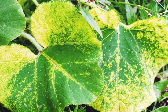 Downy Mildew: Identification, Plants at Risk, Prevention, and Treatment