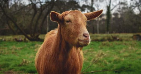 Golden Guernsey Goat: Breed Info, Characteristics, Breeding, and Care