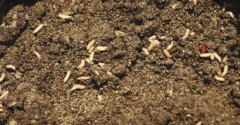 How to Deal with Maggots in Your Compost