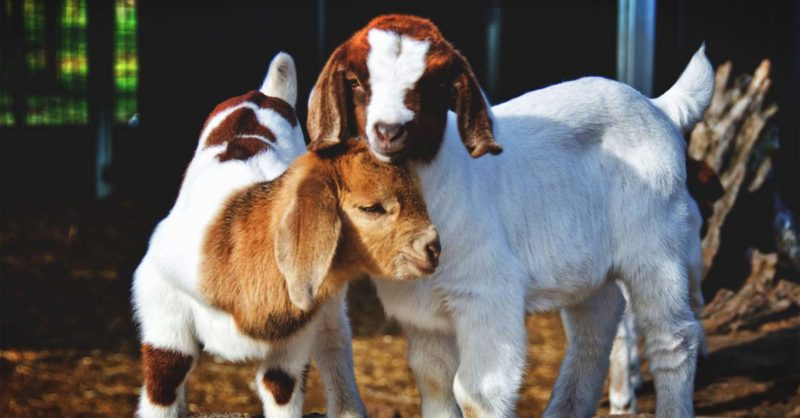 How to Take Care of Baby Goats – Everything You Need to Know