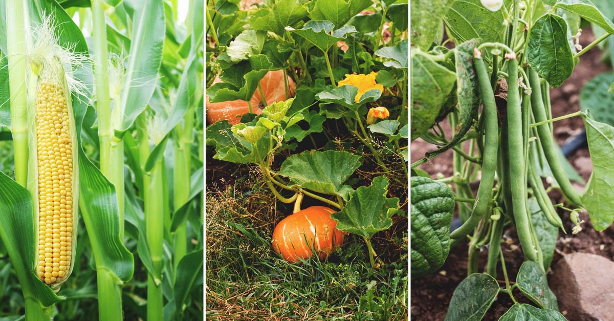 How To Start A Three Sisters Garden An Ancient And Proven Method