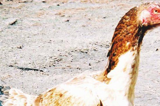 Malay Chicken: The Tallest Chicken Breed