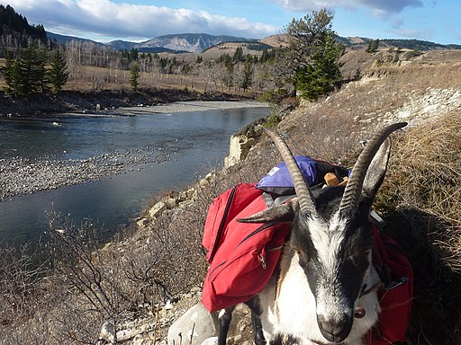 a pack goat used by hikers