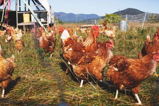 Pecking Order: How to Manage Chicken Bullying in Your Flock