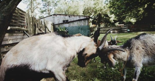 Understanding Goat Behavior and the Dynamics of a Goat Herd