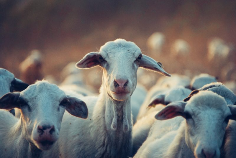 understanding goat behavior