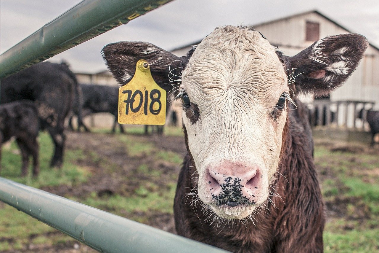Fencing for steers