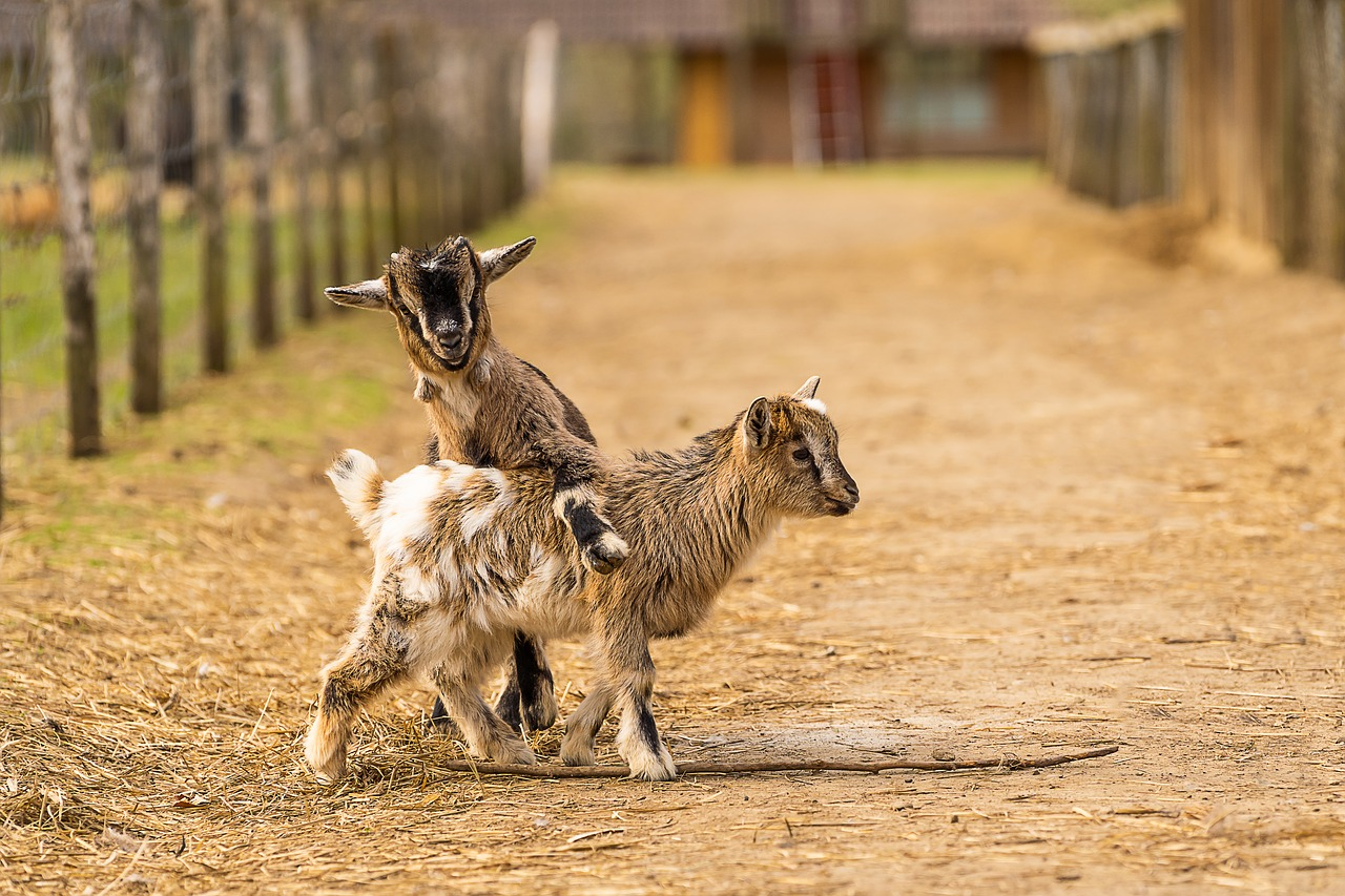 baby Goat care - kids playing