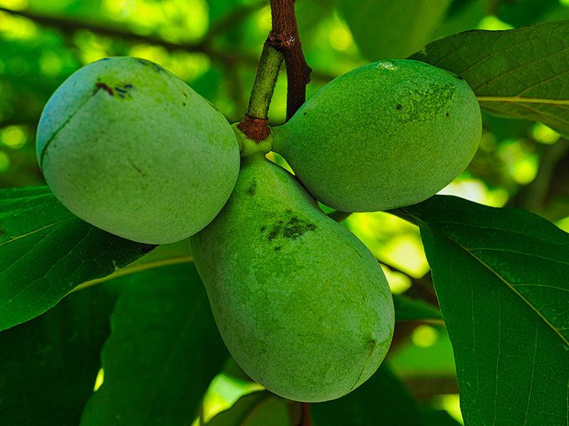 pawpaw are shade-tolerant fruits