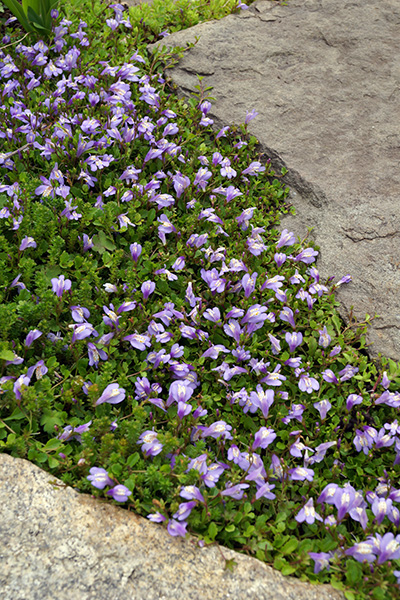 16 Fast Growing Ground Cover Plants To, Fast Growing Perennial Ground Cover For Full Sun