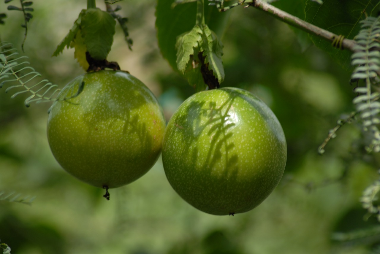 passion Fruit growing