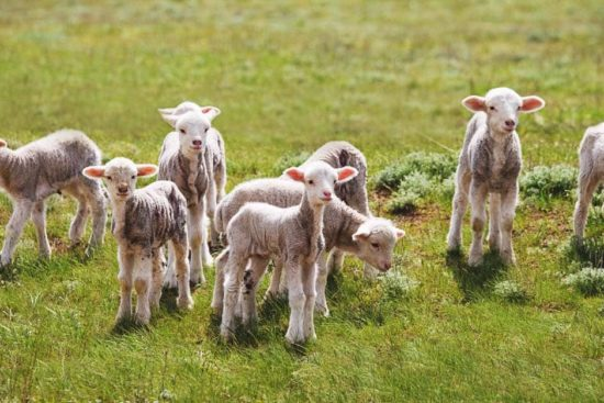 10 Common Lambing Problems and How to Deal with Them