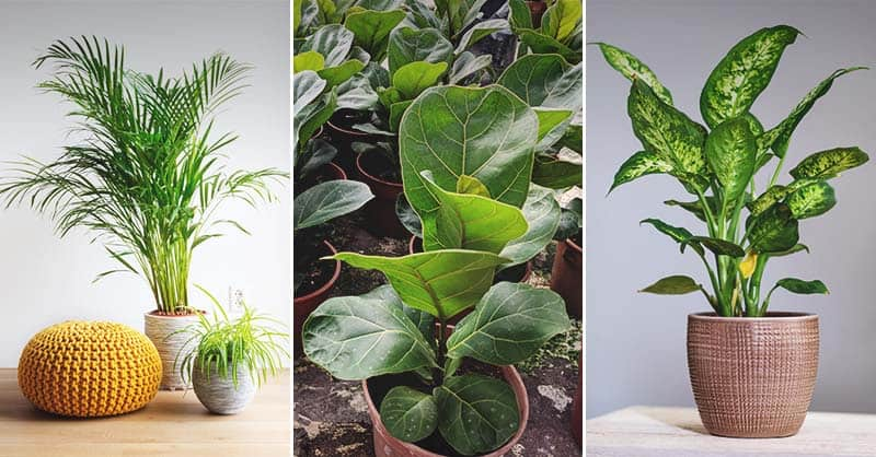 17 Best Indoor Trees For Your Home And How To Care For Them