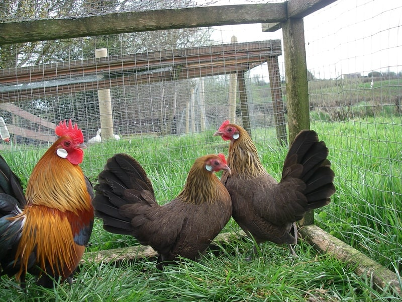 dutch bantam trio