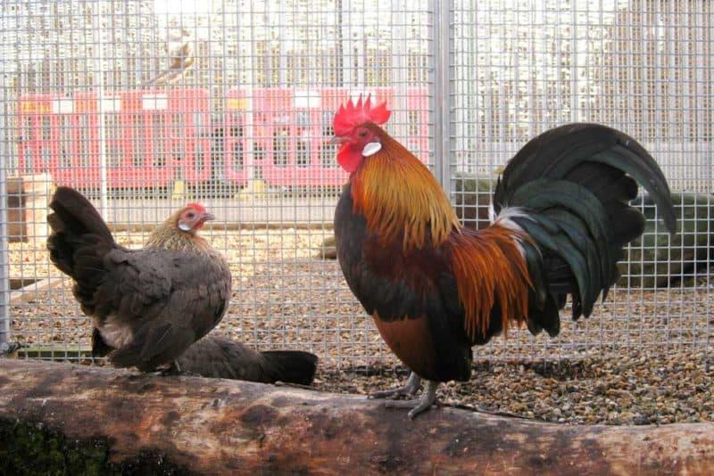 dutch bantam rooster