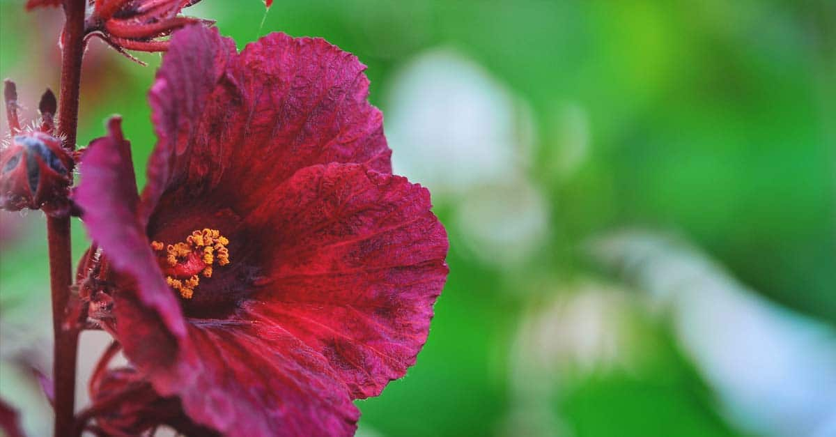 How To Grow Edible Hibiscus Flowers In Your Garden