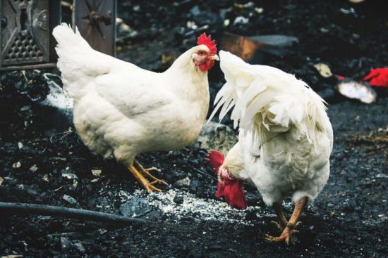Fire Prevention Tips for Your Chicken Coop
